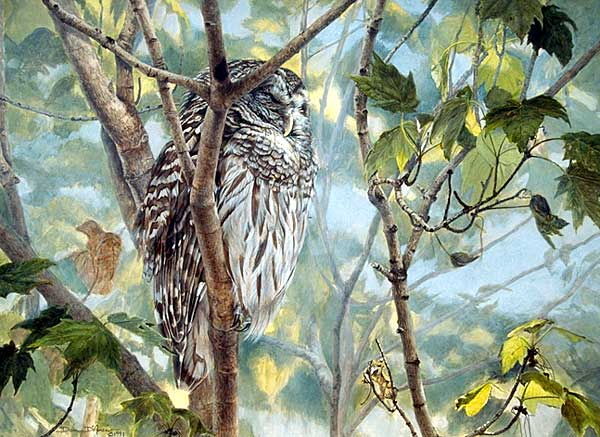 """Asleep Among the Maples"" by Dan D'Amico, a wildlife painting of a barred owl."